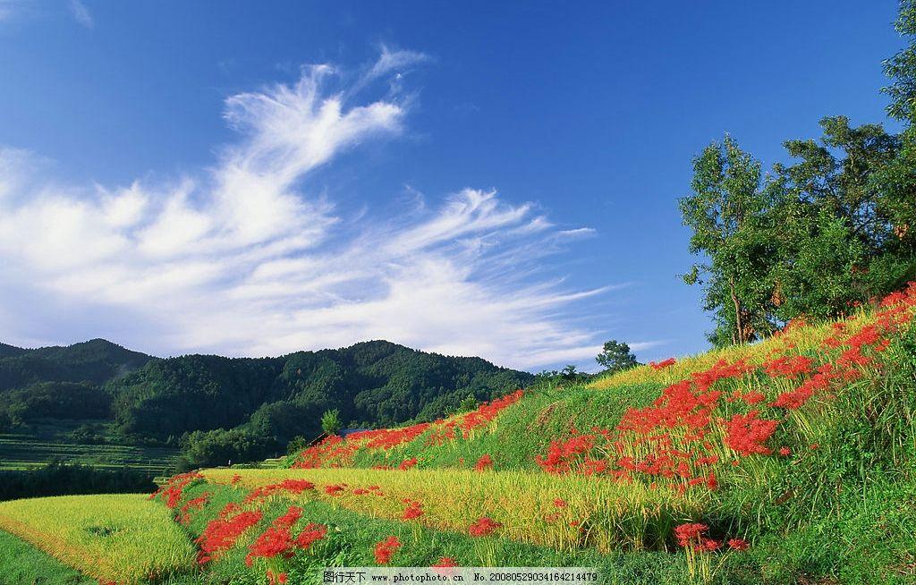 田野 稻田 稻谷 蓝天 白云 树林 旅游摄影 自然风景 美丽风光素材