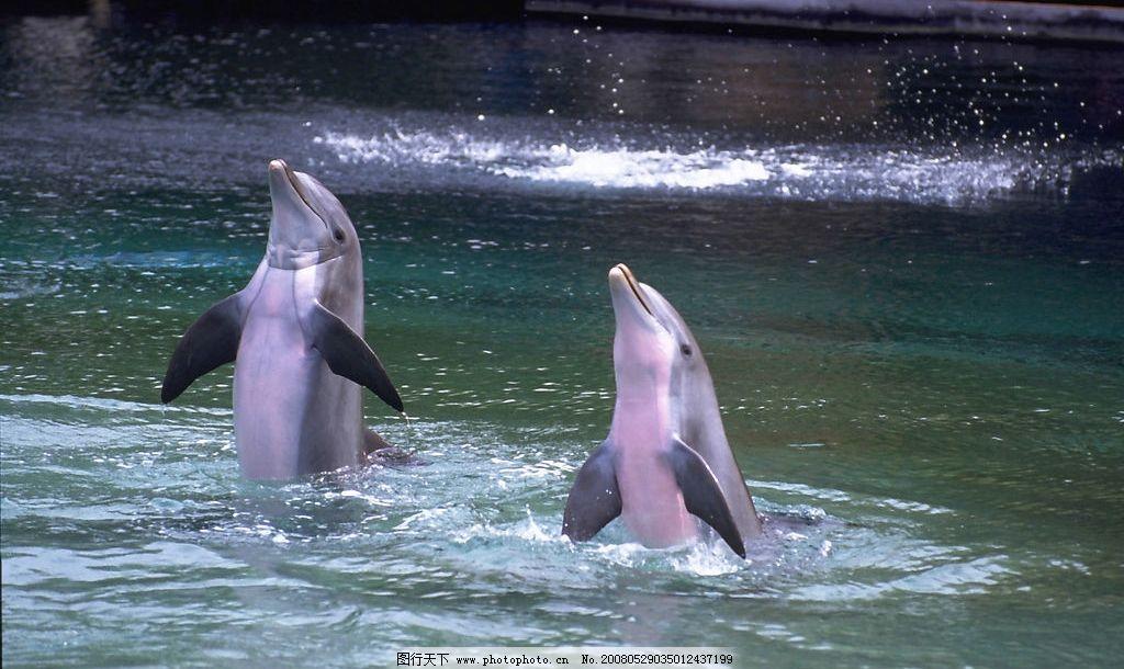 海豚 表演 水池 生物世界 野生动物 动物类 摄影图库