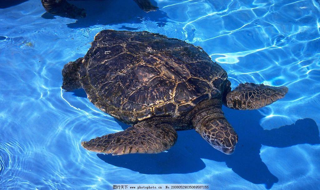 海龟 清水 生物世界 野生动物 动物类 摄影图库 350 jpg