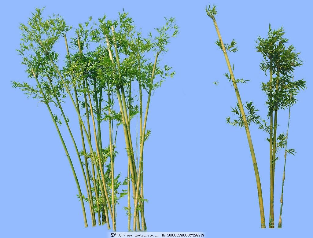 竹子 植物 景观 植物素材 摄影图库