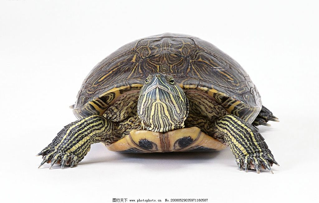乌龟 海龟 龟 动物 宠物 海洋生物 生物世界 家禽家畜 动物素材 摄影