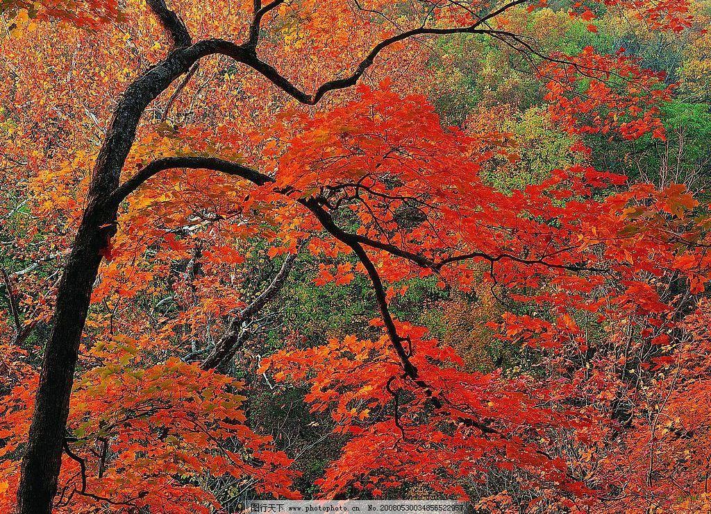 枫树 红色 红叶 树木 自然景观 自然风景 就是精彩 摄影图库 72 jpg