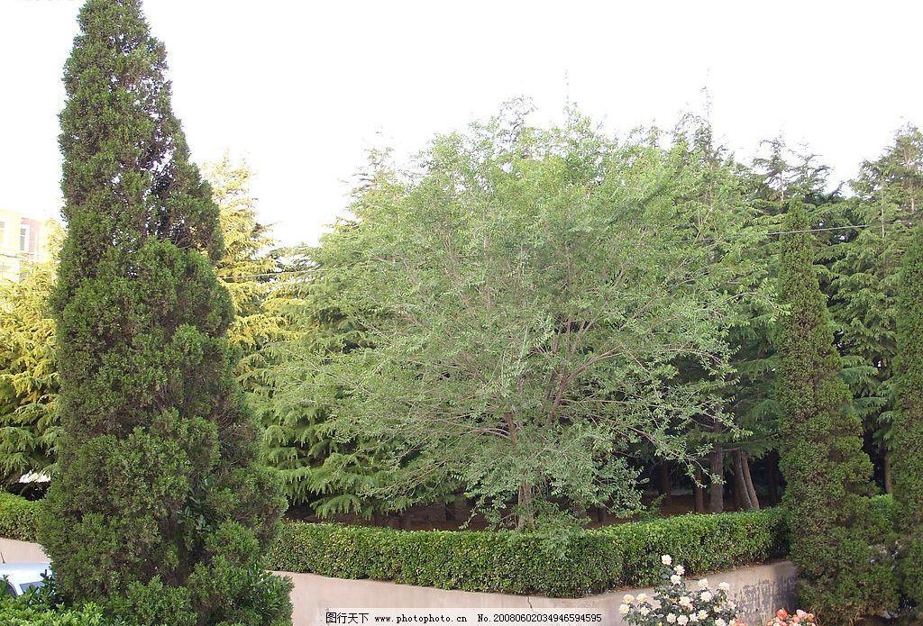 松树 青松 绿色 绿叶 锥形 造型 鲜花 楼房 绿树 风景树 冬青 自然