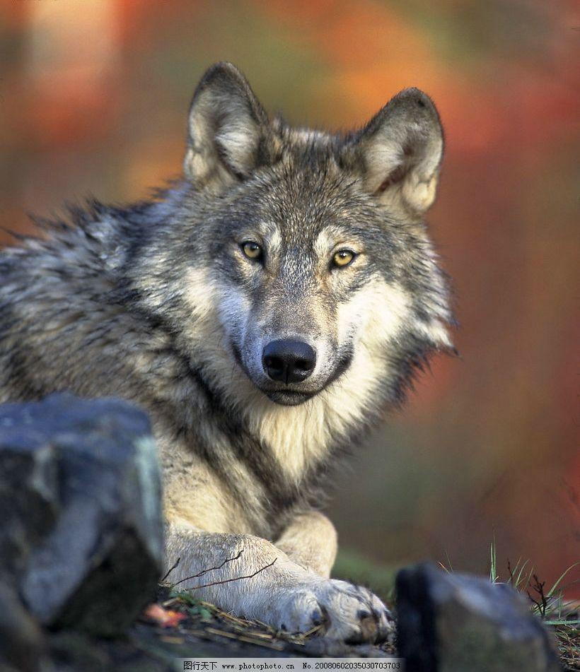 大灰狼 灰狼 狼 生物世界 野生动物 摄影图库 398 jpg