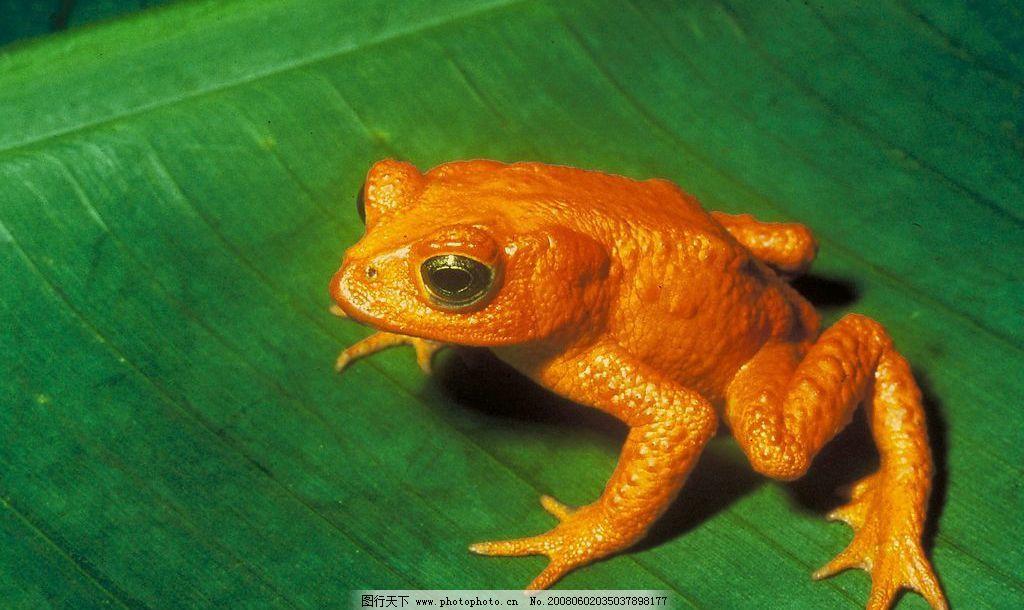 金蟾 生物世界 野生动物 摄影图库 300 jpg