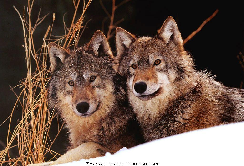 狼 狼图 狼神 狼性 狼道 狼文化 狼图片 生物世界 野生动物 高清晰狼