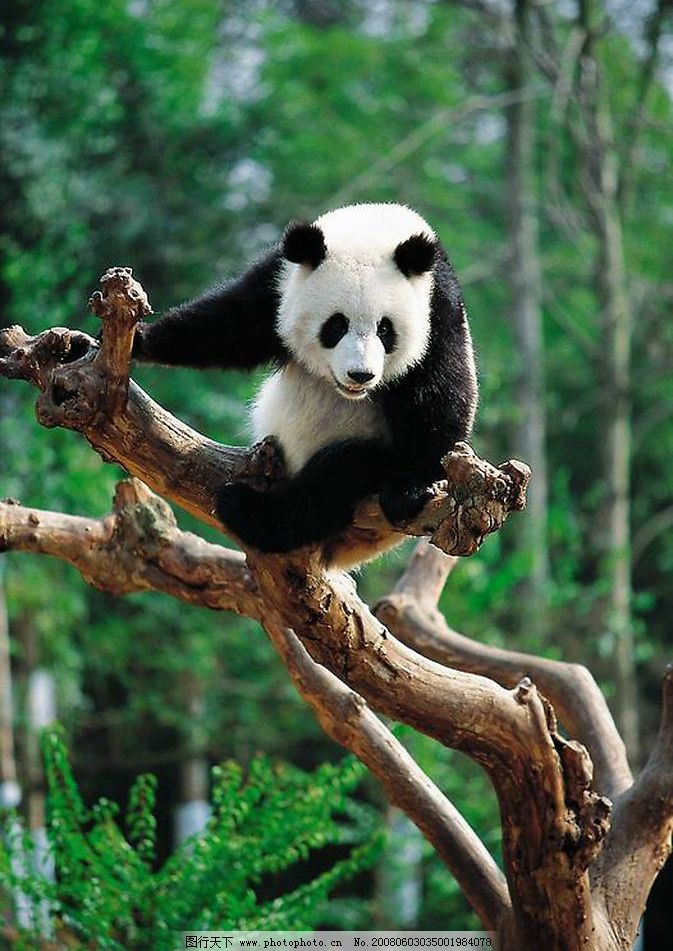 熊猫 野生动物 树木 动物 国宝 生物世界 摄影图库 300 jpg