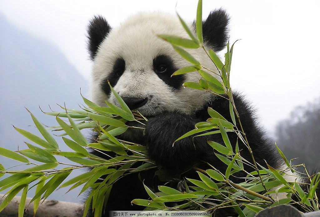 国宝熊猫 熊猫 竹子 天空 森林 树木 生物世界 野生动物 摄影图库 72