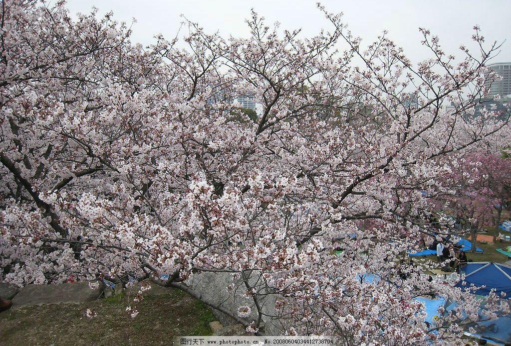 樱花烂漫 樱花 日本樱花 花 自然景观 山水风景 摄影图库 180 jpg