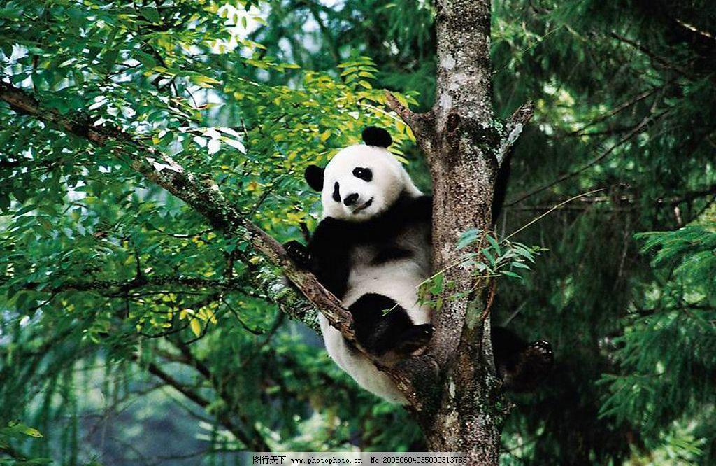 壁纸 大熊猫 动物 1024_666