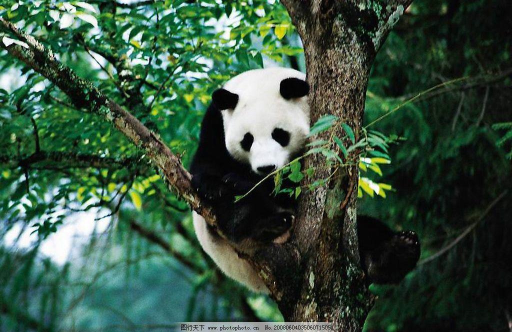 熊猫 野生动物 国宝 生物世界 摄影图库