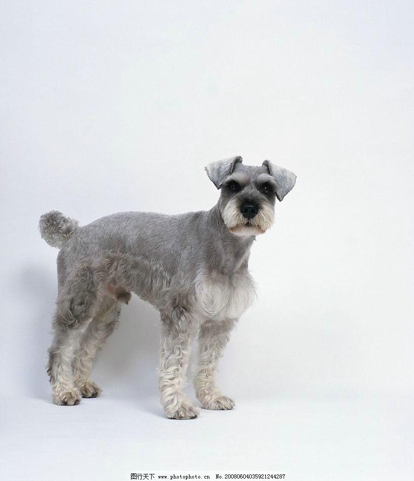 宠物 动物 生物 狗 小狗 灰色 卷毛 侧面 可爱 jpg 摄影 生物世界
