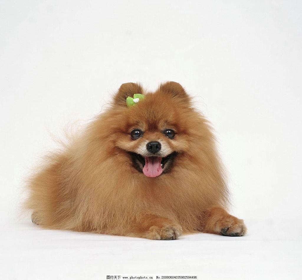 宠物 动物 生物 狗 小狗 博美 黄色 长毛 趴着 可爱 摄影