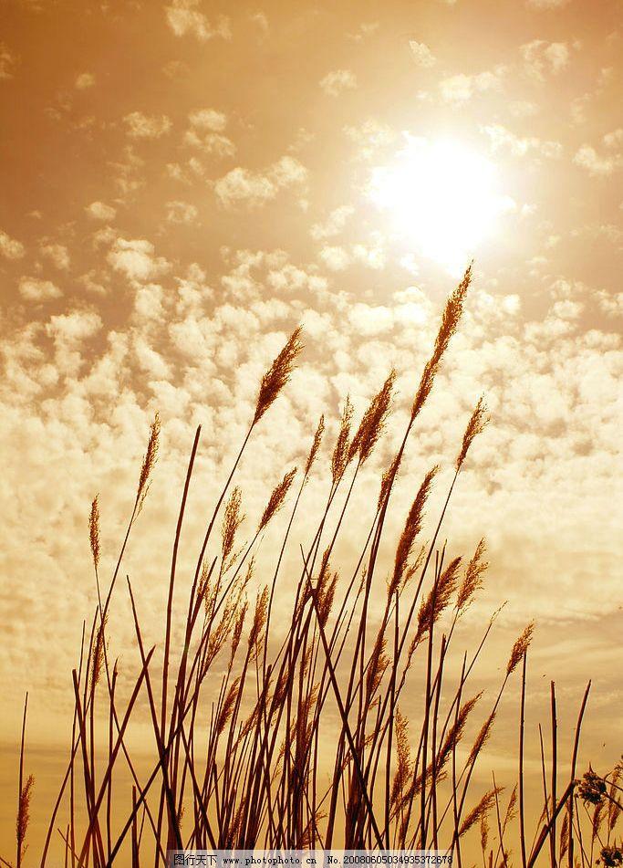 金色麦穗 金色 麦子 丰收 粮饛 秋天 自然景观 其他 摄影图库 72 jpg