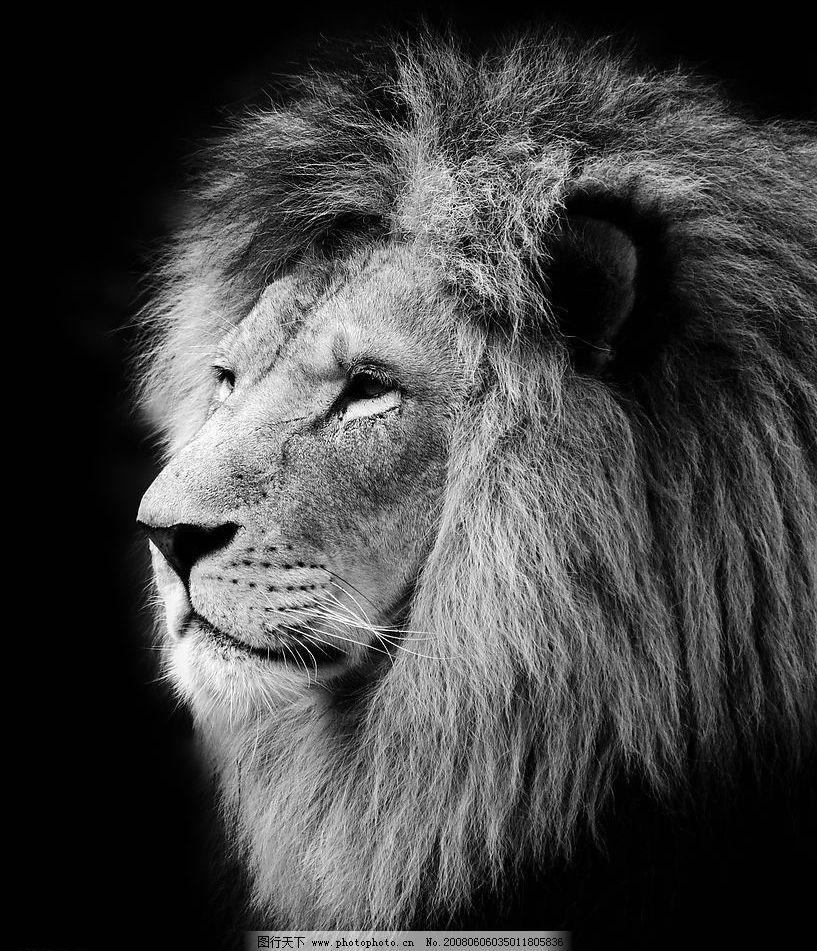 黑白狮子 狮子 凶猛动物 黑白 生物世界 野生动物 野生 动物类 摄影