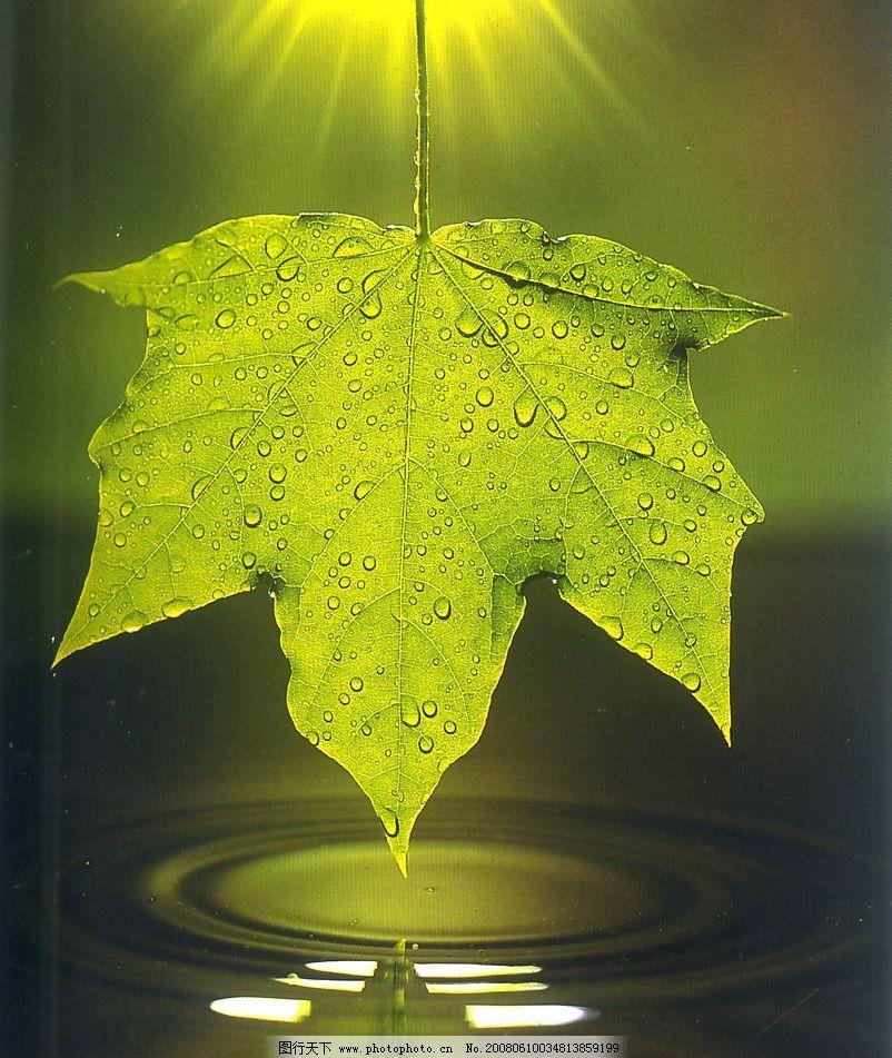 树叶 树叶 绿色的叶片 梧桐树叶 自然景观 自然风景 摄影图库 300 jpg