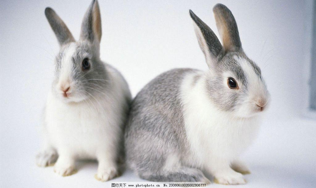 两只小白兔图片_野生动物_生物世界_图行天下图库