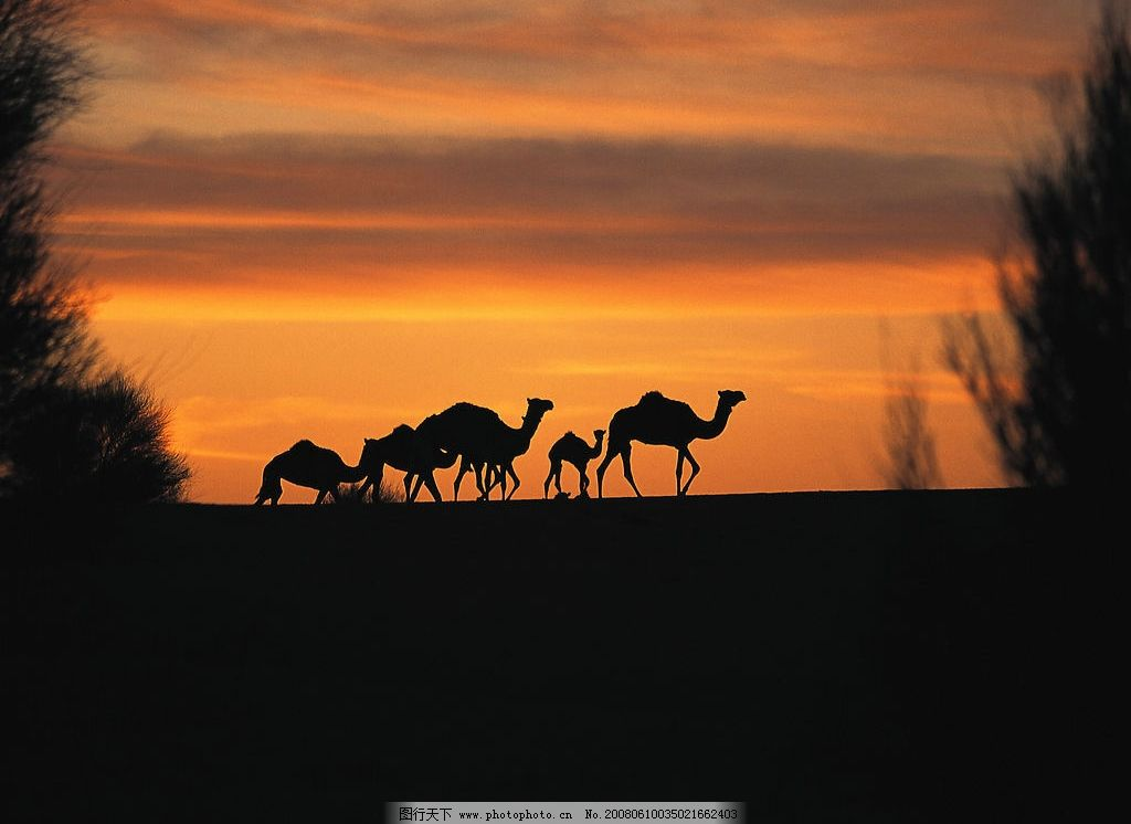 骆驼 沙漠 生物世界 野生动物 摄影图库