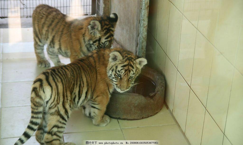 壁纸 动物 虎 老虎 猫科 桌面 1024_610