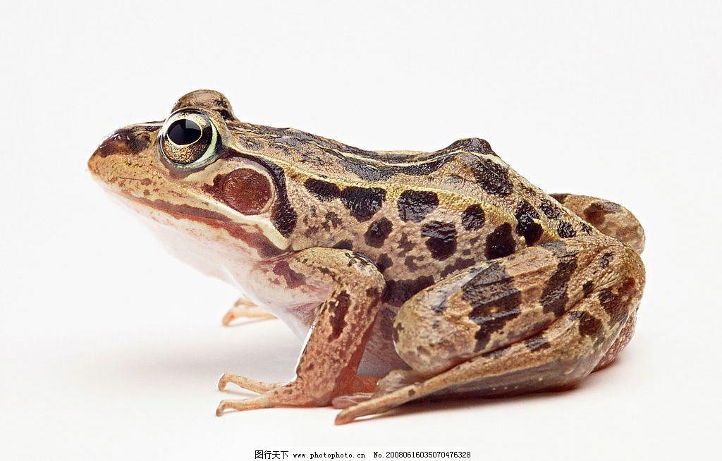 青蛙 生物世界 野生动物 蛙类 摄影图库 350 jpg