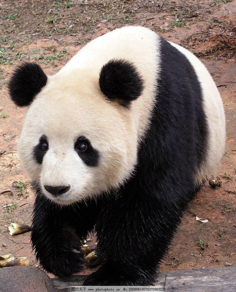 大熊猫 熊猫 动物园 爬行动物 可爱 黑白 生物世界 野生动物 摄影图库
