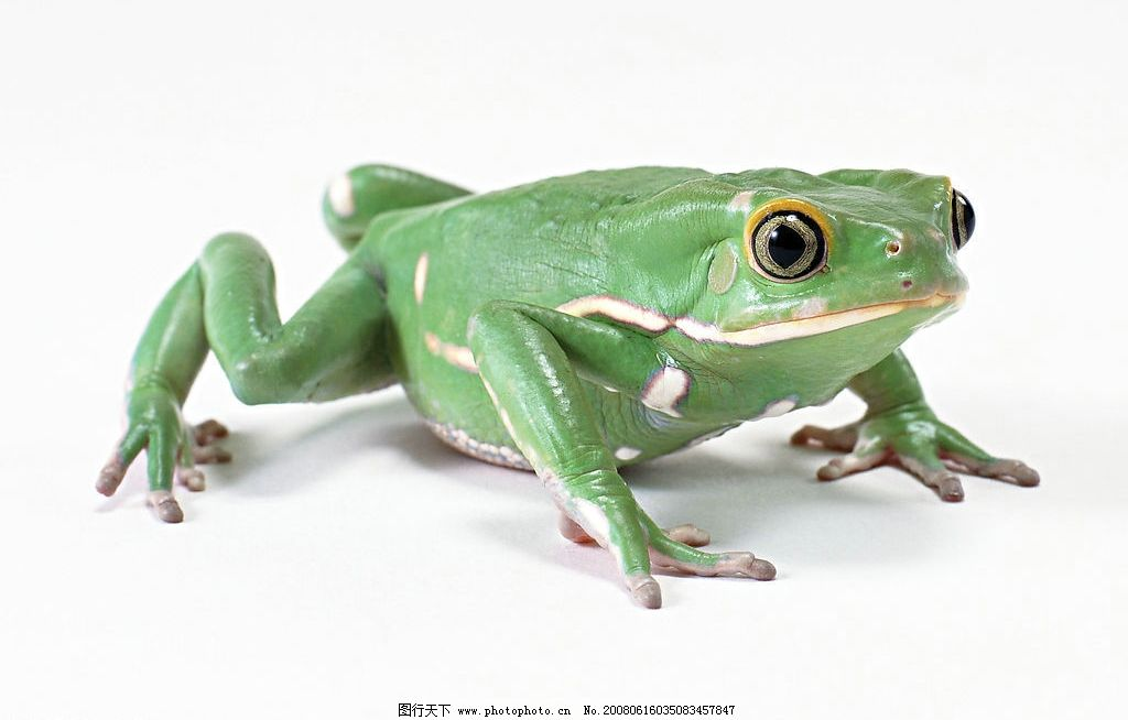 绿蛙 生物世界 野生动物