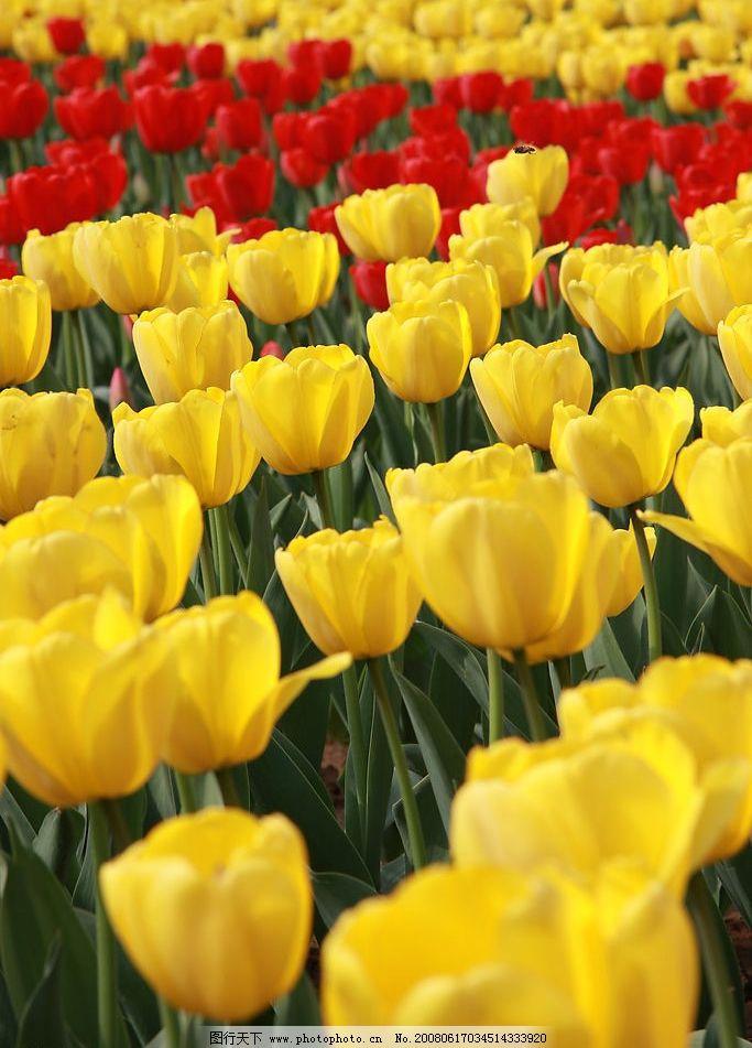 花卉 郁金香 花海图片