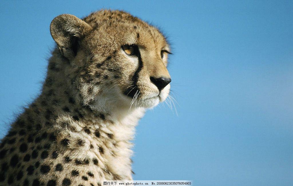 野生动物豹图片