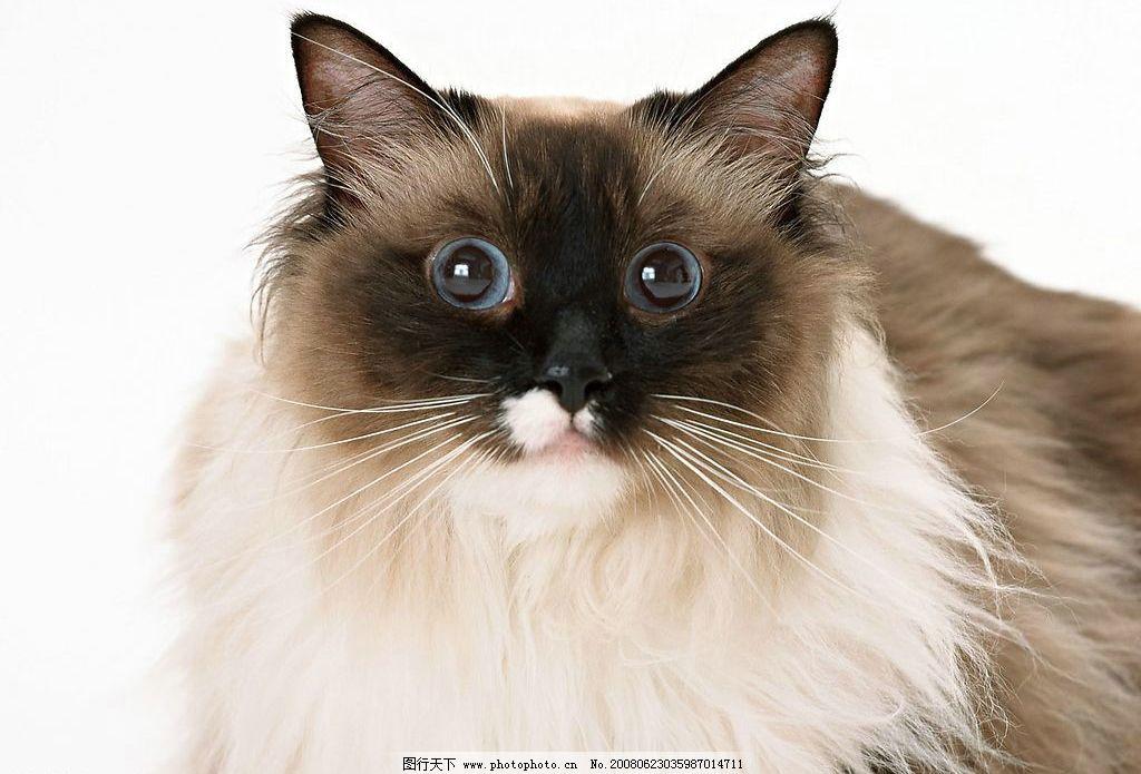 猫咪 猫猫 生物世界 家禽家畜 动物 摄影图库 72 jpg
