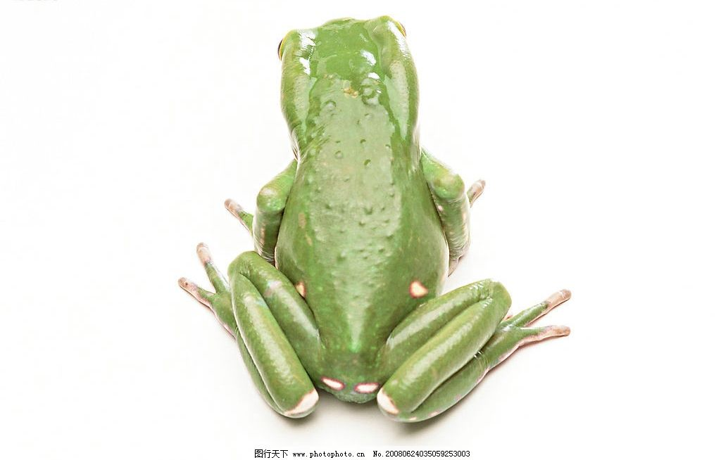 青蛙 绿蛙 生物世界 野生动物 蛙类 摄影图库