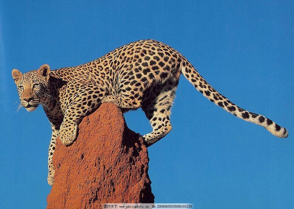 豹子 生物世界 野生动物 摄影图库