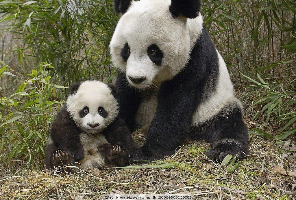 熊猫 生物世界 野生动物 摄影图库
